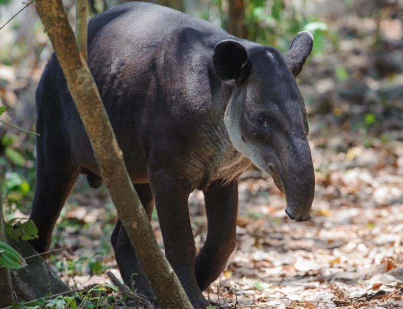 Costa Rica | tapír - OTP Travel Utazási Iroda