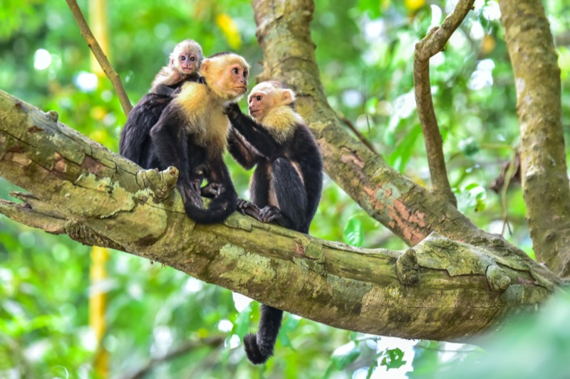 Costa Rica | kapucinus majom - OTP Travel Utazási Iroda
