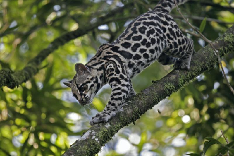 Costa Rica | ocelot - OTP Travel Utazási Iroda
