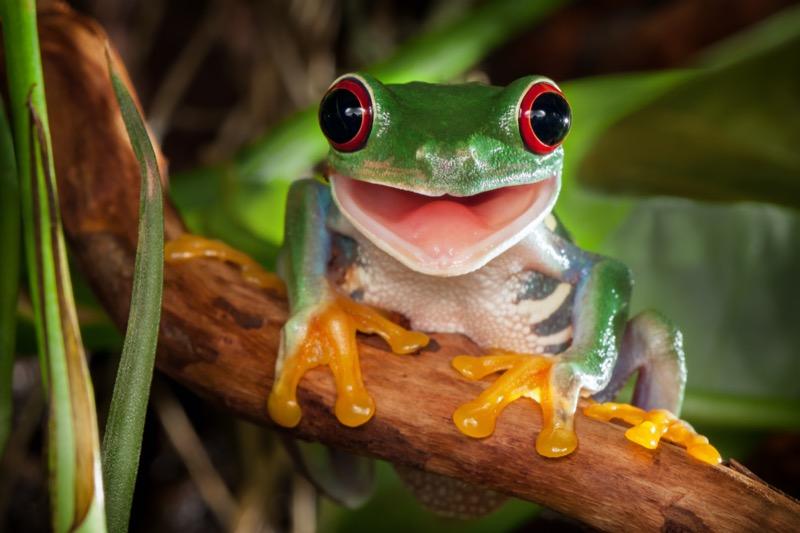 Costa Rica | Vörösszemű levelibéka - OTP Travel Utazási Iroda