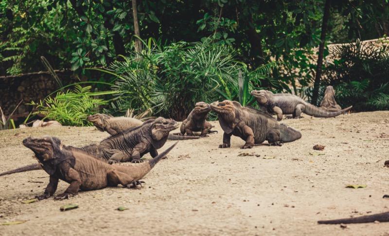 Dominikai Köztársaság | Orrszarvú iguánok 1 - OTP Travel Utazási Iroda