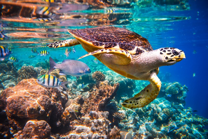 Maldív-szigetek teknősök - OTP Travel Utazási Iroda
