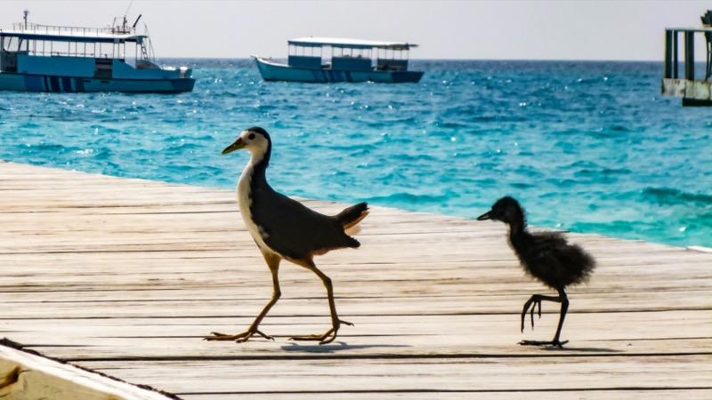 Maldív-szigetek madarak - OTP Travel Utazási Iroda