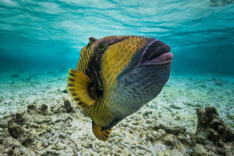 Maldív-szigetek titán íjhal - OTP Travel Utazási Iroda