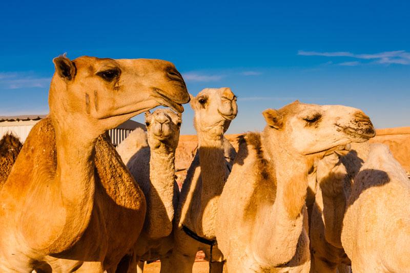 Szaud-Arábia | tevepiac | - OTP Travel Utazási Iroda