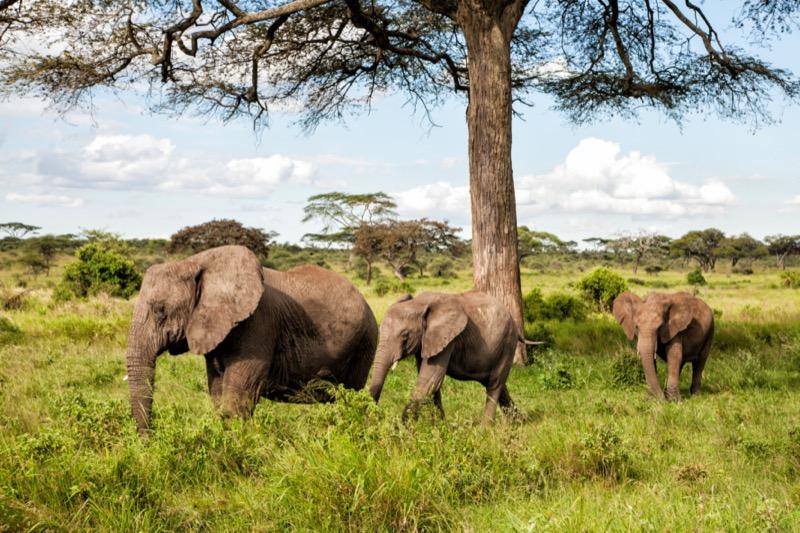 Tanzánia   elefánt - OTP Travel Utazási Iroda