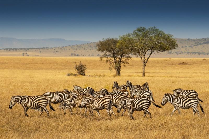 Tanzánia   zebra - OTP Travel Utazási Iroda