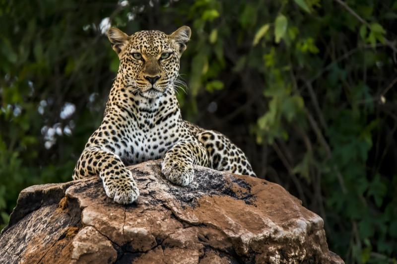 Tanzánia   afrikai leopárd - OTP Travel Utazási Iroda