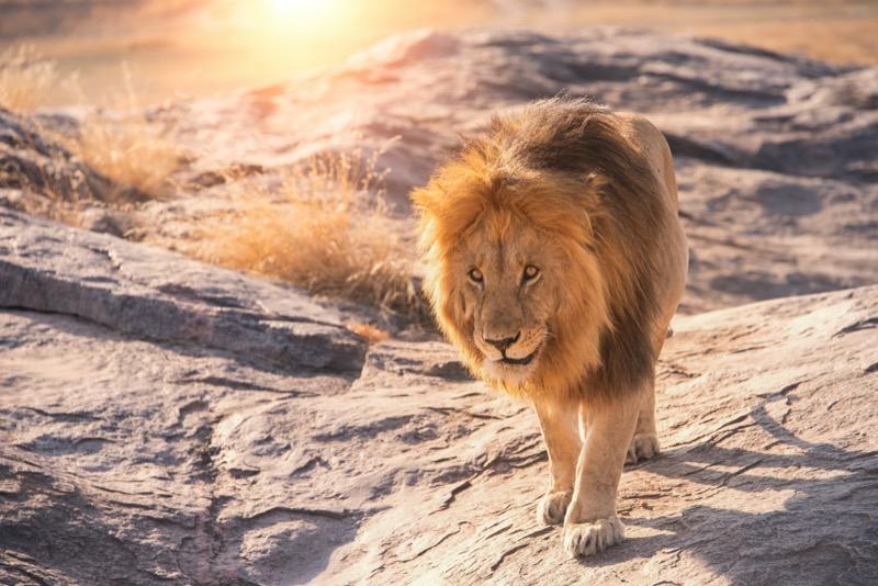 Tanzánia   oroszlán - OTP Travel Utazási Iroda