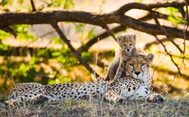 Tanzánia   gepárd - OTP Travel Utazási Iroda
