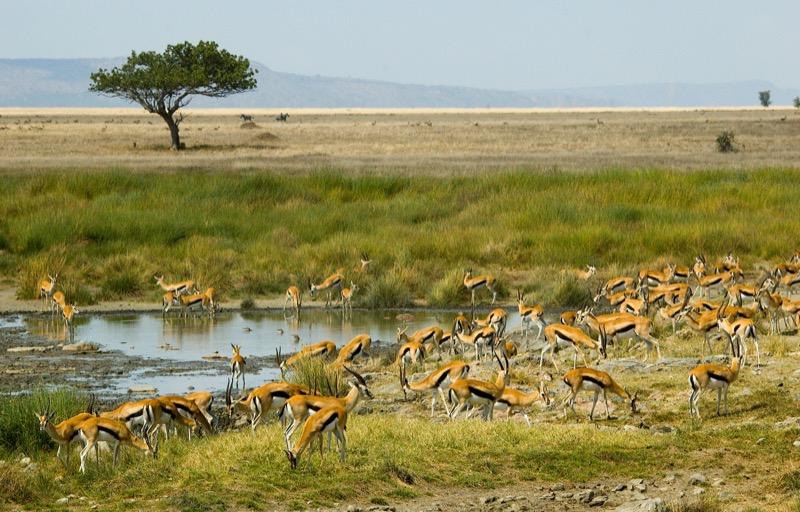 Tanzánia   Thomson gazella - OTP Travel Utazási Iroda