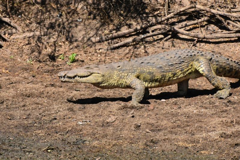 Tanzánia   nílusi krokodil - OTP Travel Utazási Iroda